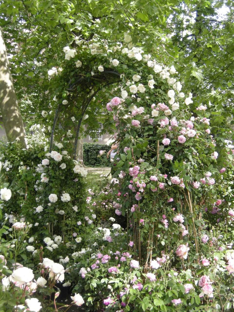 Piante Di Rose Rampicanti la potatura delle rose rampicanti o climber: 7 consigli