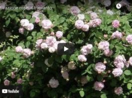 trapianto rosa