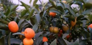 bonsai kumquat