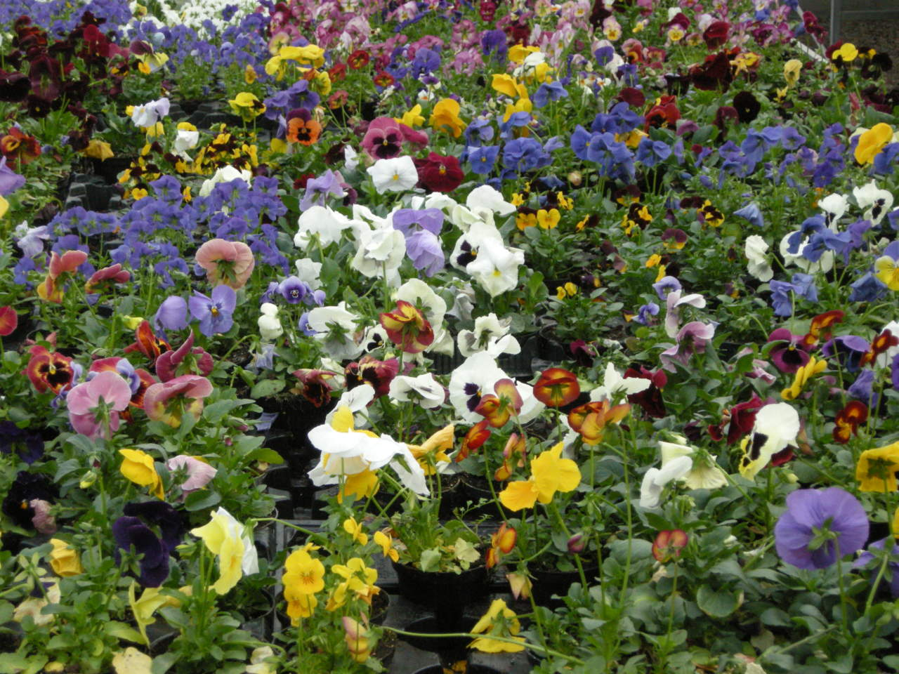 Come Creare Il Viola viole: la storia, le specie e la coltivazione - passione in