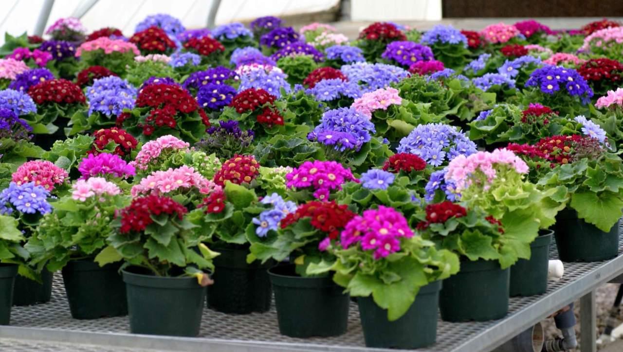 Fiori Da Giardino In Montagna senecio: un nome, oltre mille fiori - passione in verde