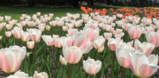 2014/03/coltivazione_tulipani_e03fe25e.jpg