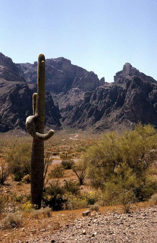 saguaro deserto sonora