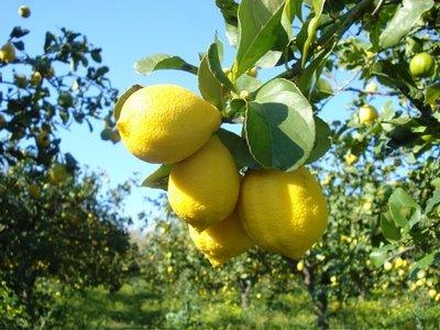 Frutti di limone sulla pianta