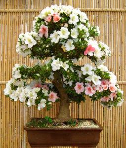 2014/06/Azalea_bonsai_30d9c7b0.jpg