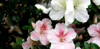 Azalea bonsai fiori