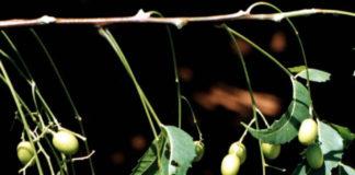 2014/06/azadirachta_indica_olio_di_neem_d63ca02b.jpg