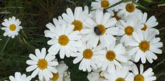2014/06/tanacetum_cinerariifolium_piretro_9f81ec31.jpg