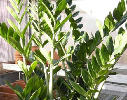 Piante Verdi Da Appartamento Zamioculcas.Zamioculcas Pianta D Appartamento Indistruttibile Passione In Verde