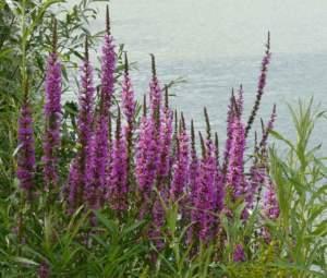 difendere le piante caldo lythrum