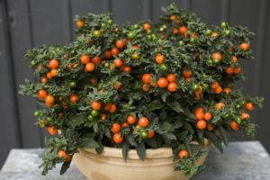 2014/07/Solanum_pseudocapsicum_fld_77d8a622.jpg