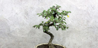 2014/07/carmona-bonsai_5445bb62.jpg