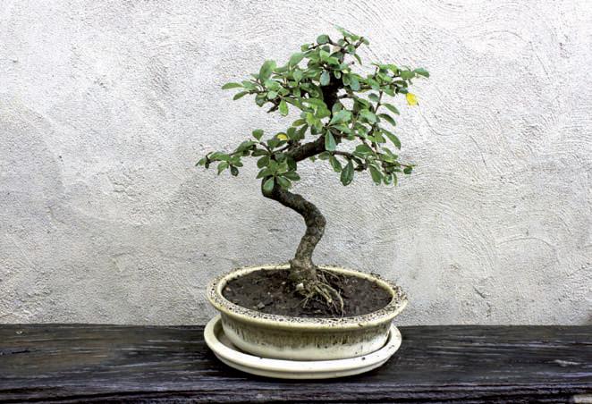 2014/07/carmona-bonsai_5445bb62.jpg
