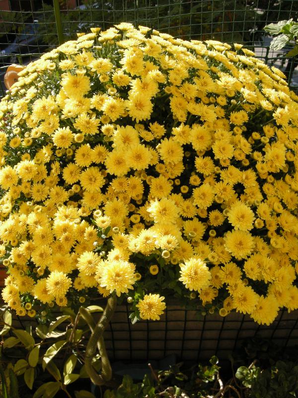 crisantemo chrysanthemum_Morena_b3e60989.JPG