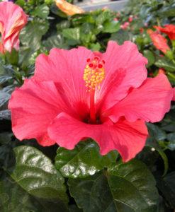 2014/07/hibiscus_rosa_sinensis1_aea611db.JPG