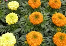 tagetes fiore giallo arancione