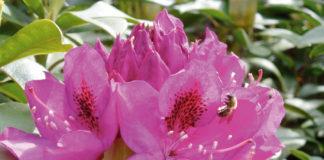 rhododendron rododendri azalee