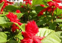 salvia splendens fiori rossi