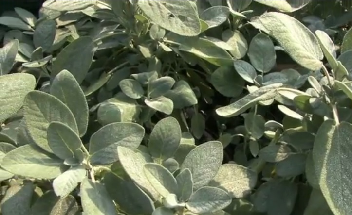 Come Fare Una Talea Di Salvia Passione In Verde