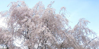 2014/12/Prunus_subhirtella__Pendula__08dca8df.jpg