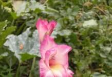 bulbi estivi gladiolo