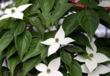 piante insolite fiore bianco cornus