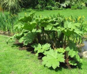 piante insolite gunnera