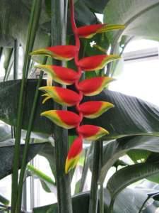 piante insolite Heliconia rostrata