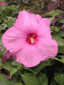 piante insolite newbiscus