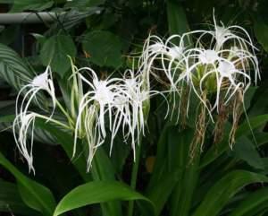piante insolite Hymenocallis expansa