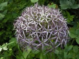 piante insolite allium