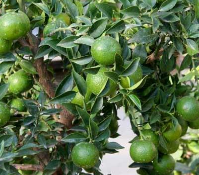 frutteto biologico lime
