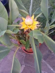 piante insolite musella lasiocarpa
