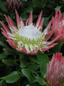 piante insolite protea