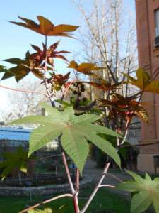 piante insolite ricino