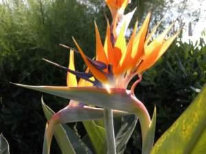 piante insolite strelitzia
