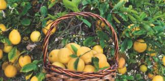 piante da frutto terrazzo