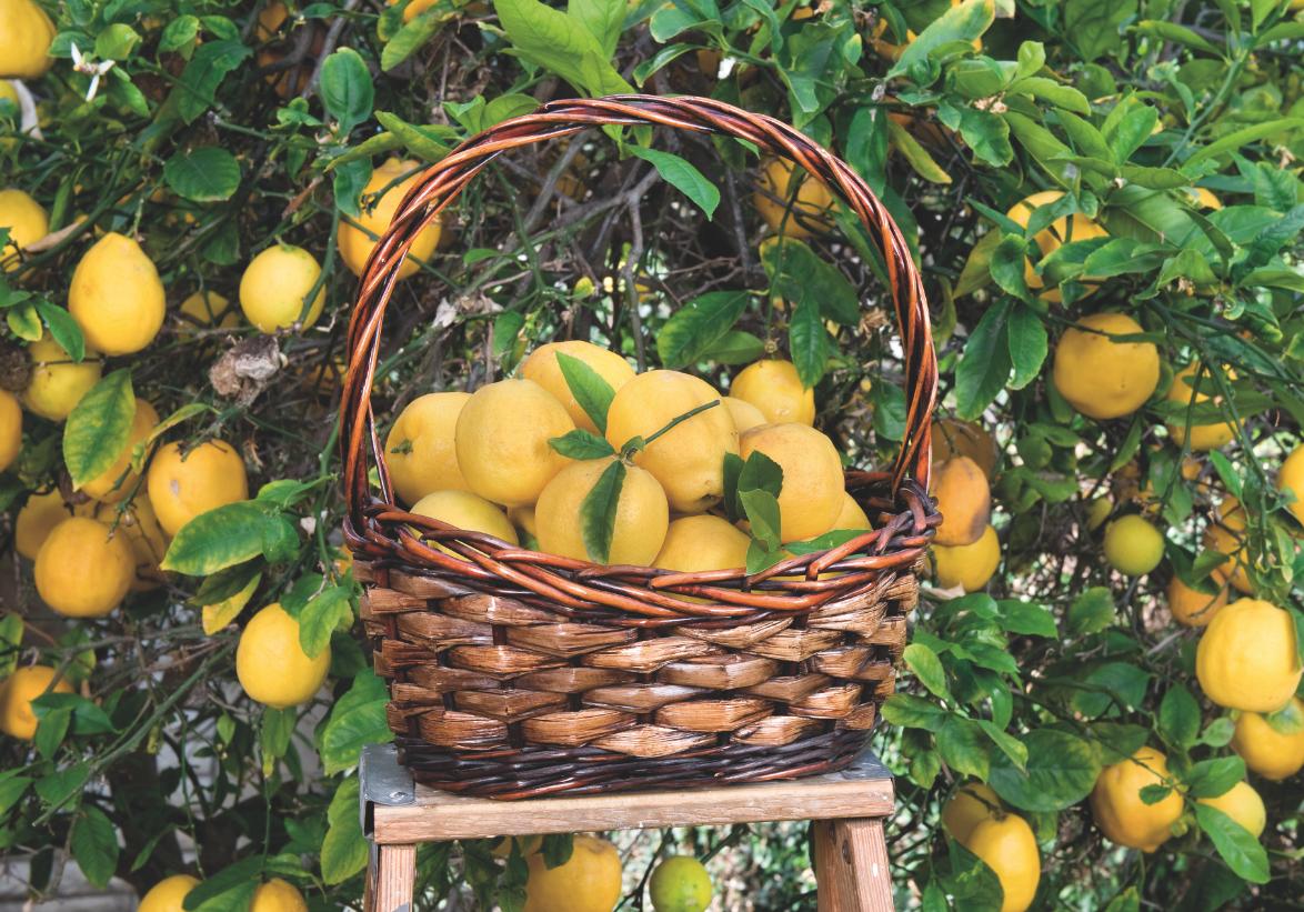 Piante Da Frutto Sempreverdi piante da frutto coltivate in terrazzo - passione in verde