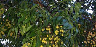 albero_dei_rosari_Melia_azedarach_fruits_bfbe8988.JPG