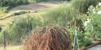 Cotoneaster disseccato dal colpo di fuoco batterico (Erminia amylovora).