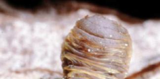Cocciniglia vampire dei pini marittimi (Matsucoccus feytaudi).