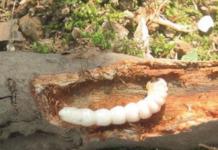 Larva di tarlo asiatico (Anoplophora chinensis).