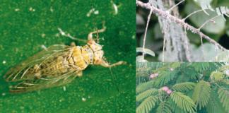 Psilla dell'albizia (Aizzai jamatonica).