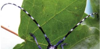 Tarlo asiatico (Anoplophora chinensis).