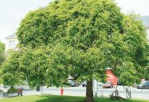 sofora albero