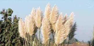 cortaderia_selloana erba della Pampa