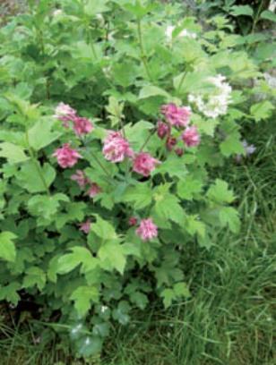 aquilegia fiorita