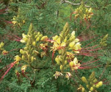 cesalpinia fiori gialli stami rossi