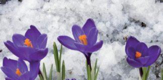 fiori in giardino per l'inverno, crochi