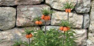 fritillaria imperialis fiorita
